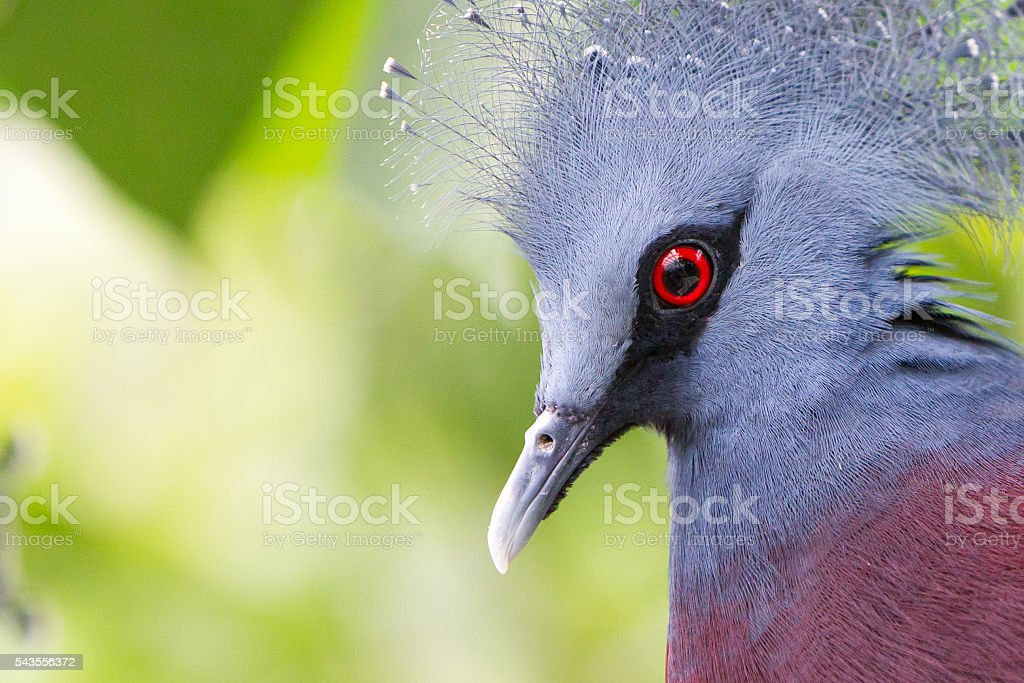 Victoria Crowned bird (Goura victoria) stock photo
