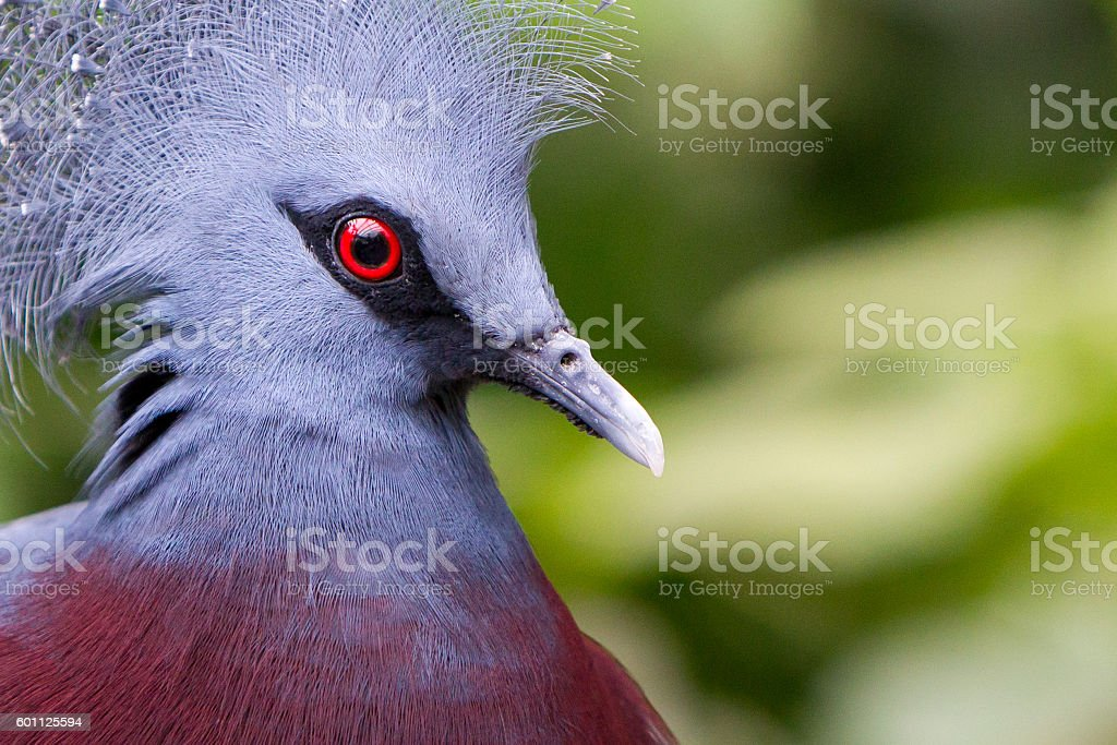 Victoria Crowned bird (Goura victoria) stock photo