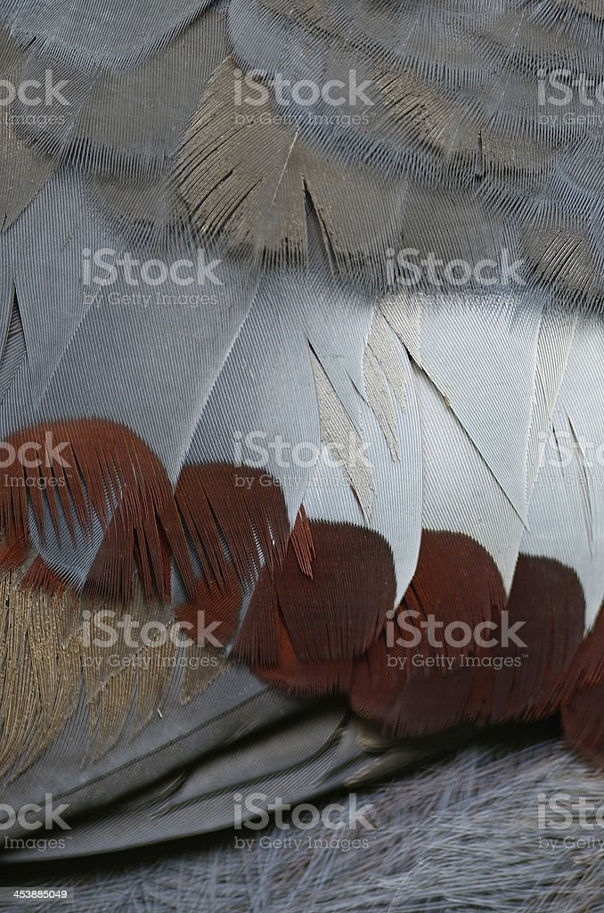 Victoria Crowned feather royalty-free stock photo
