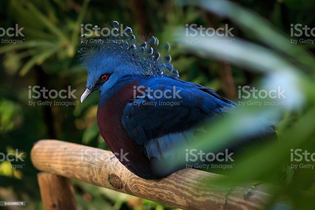 Victoria crowned pigeon( Goura Victoria) closeup stock photo