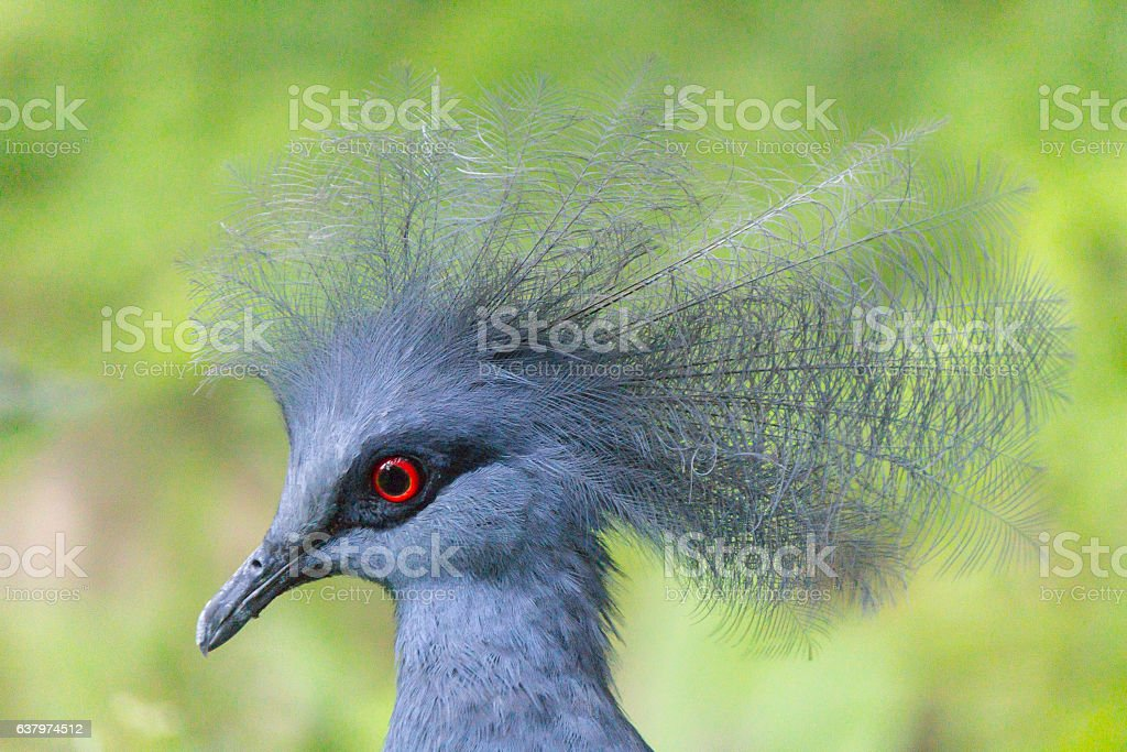 Victoria Crowned Pigeon Head stock photo