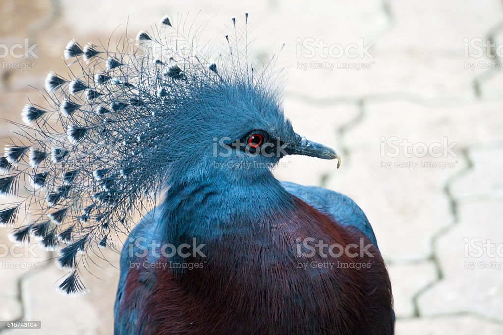 Victoria Crowned Pigeon Looking to Right stock photo