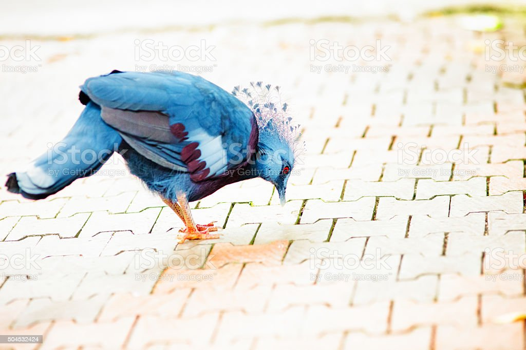 Victoria crowned pigeon pecking at a tiled sidewalk stock photo