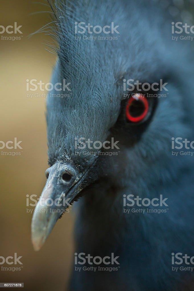 Victoria crowned pigeon (Goura victoria). stock photo