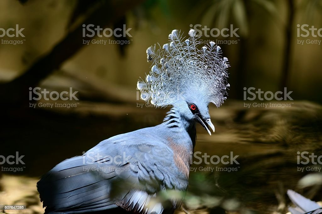 Victoria crowned pigeon stock photo