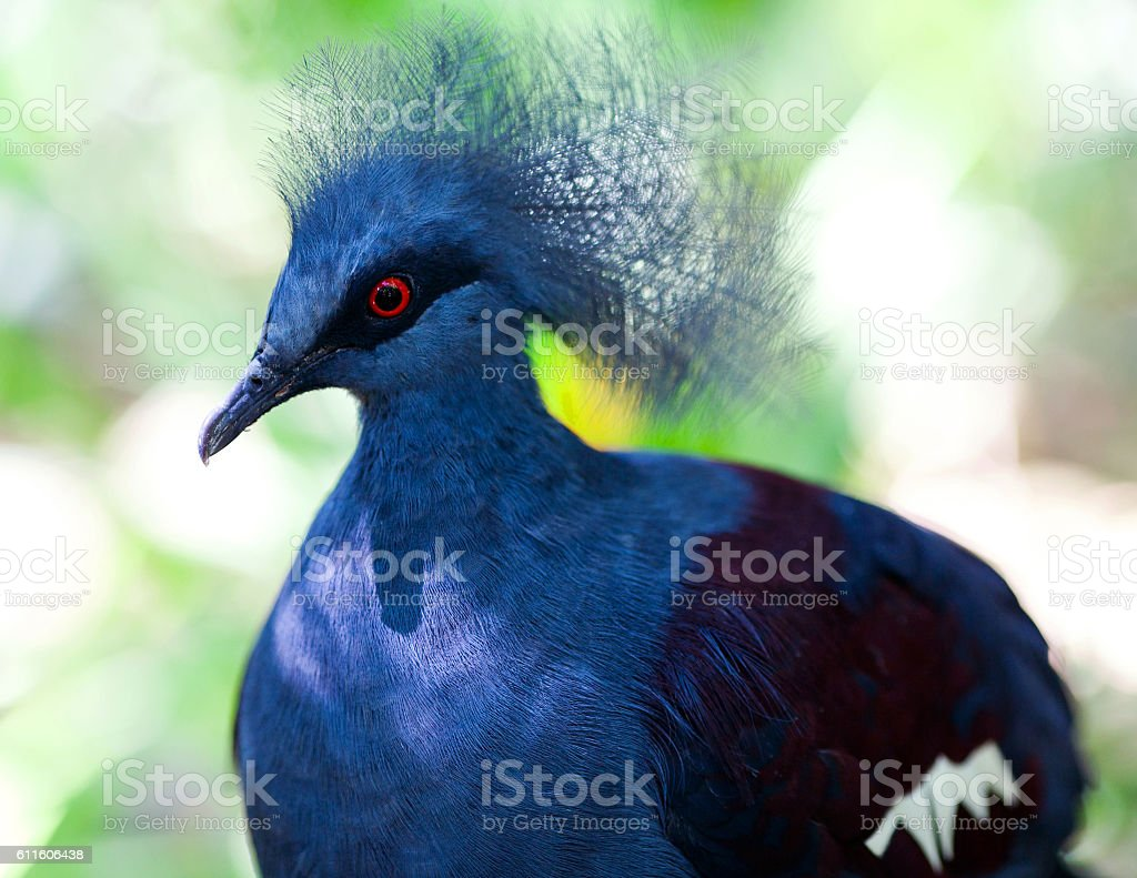 Victoria Crowned Pigeon (Goura Victoria) stock photo