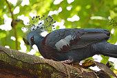 Victoria crowned pigeon ( Goura victoria)