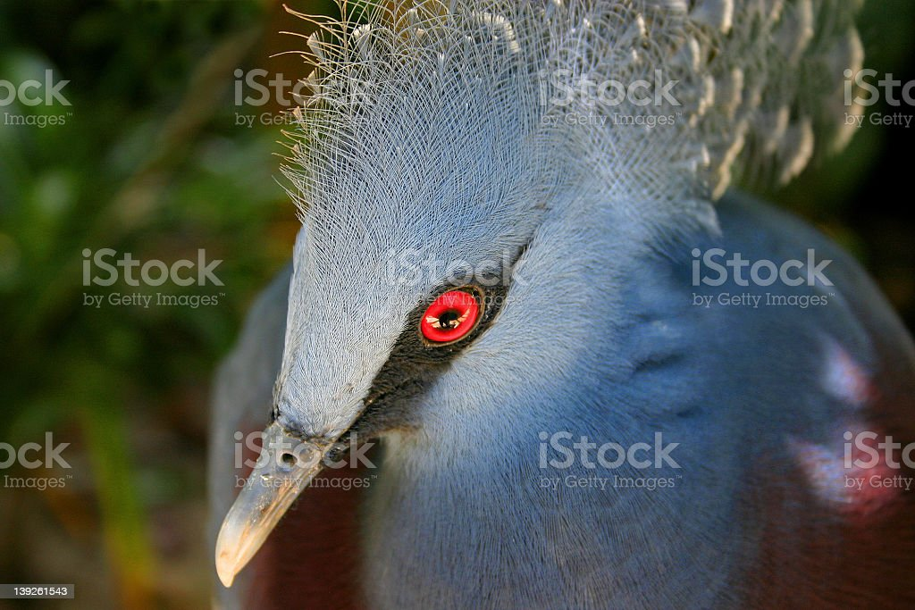 Victoria Crowned-pigeon, Papua province, Indonesia royalty-free stock photo