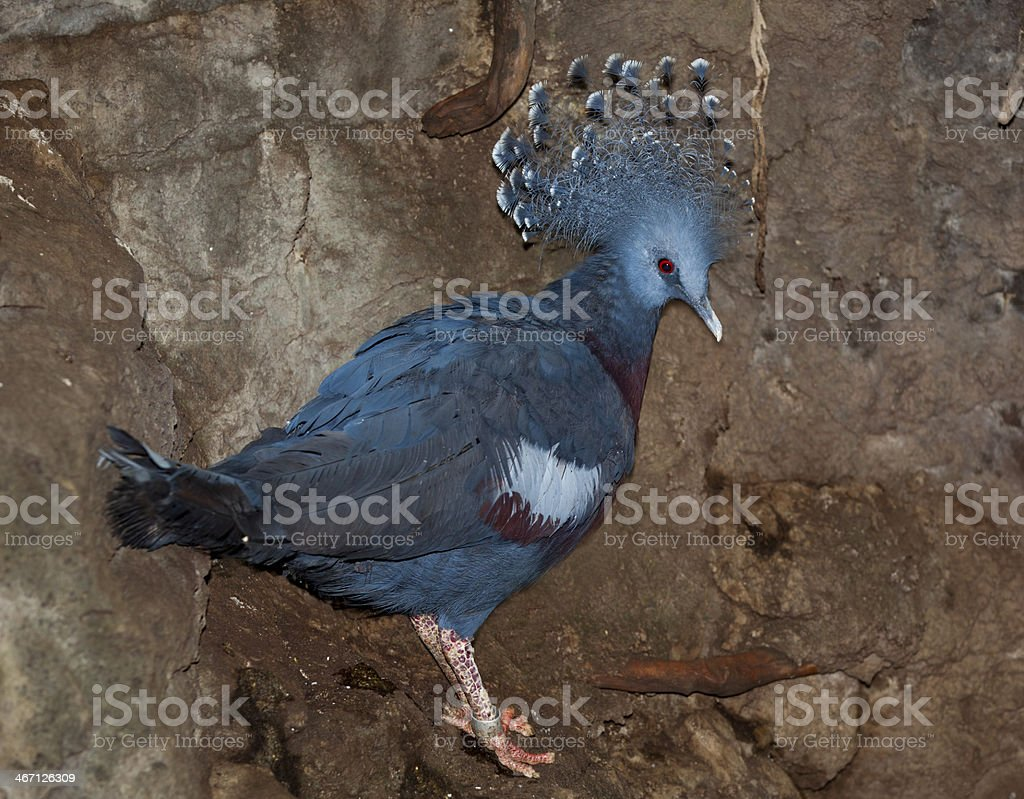 Victoria Crowned-Pigeon royalty-free stock photo