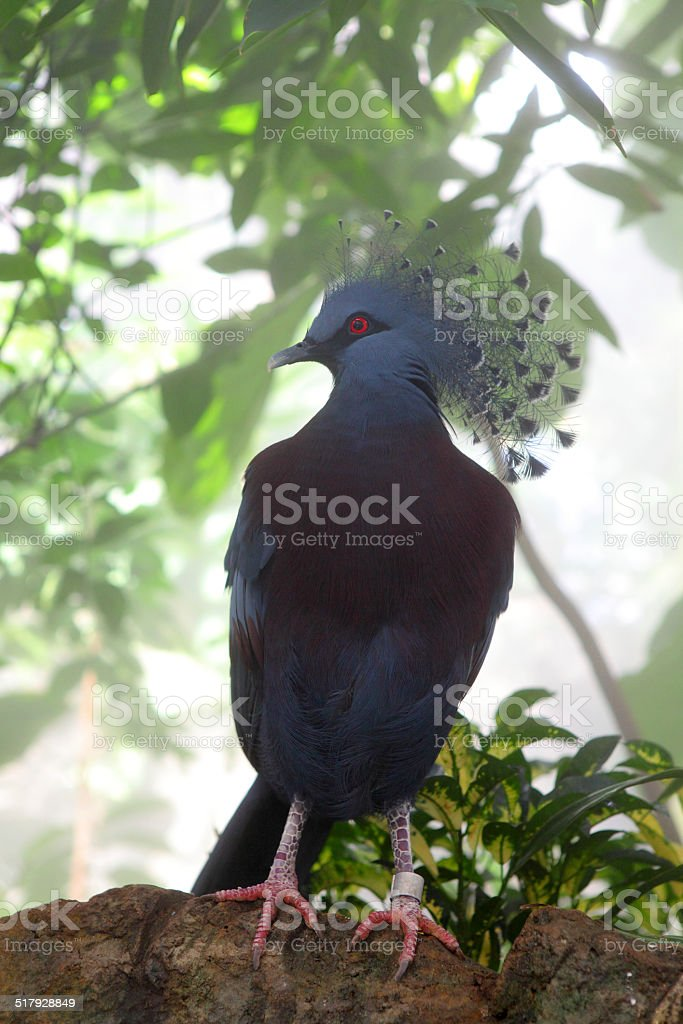 Victoria Crowned-pigeon stock photo