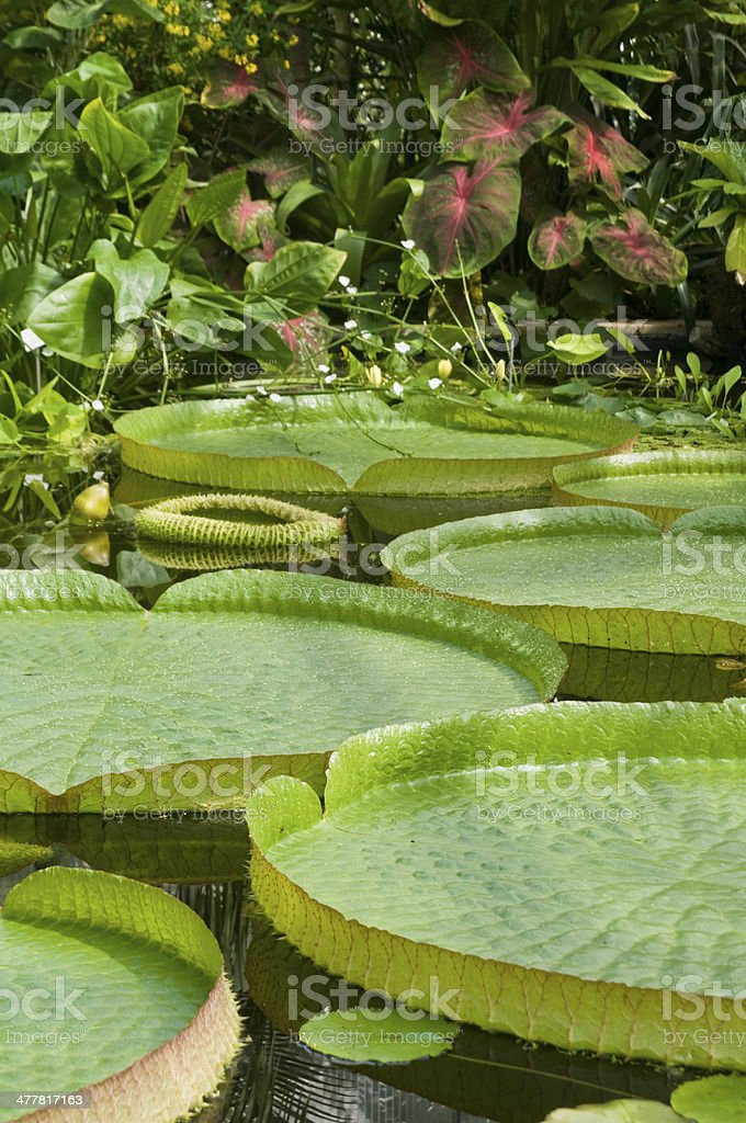 Victoria water lily with very large green leaves stock photo