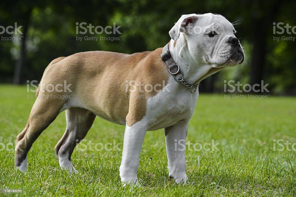 Victorian Bulldog royalty-free stock photo