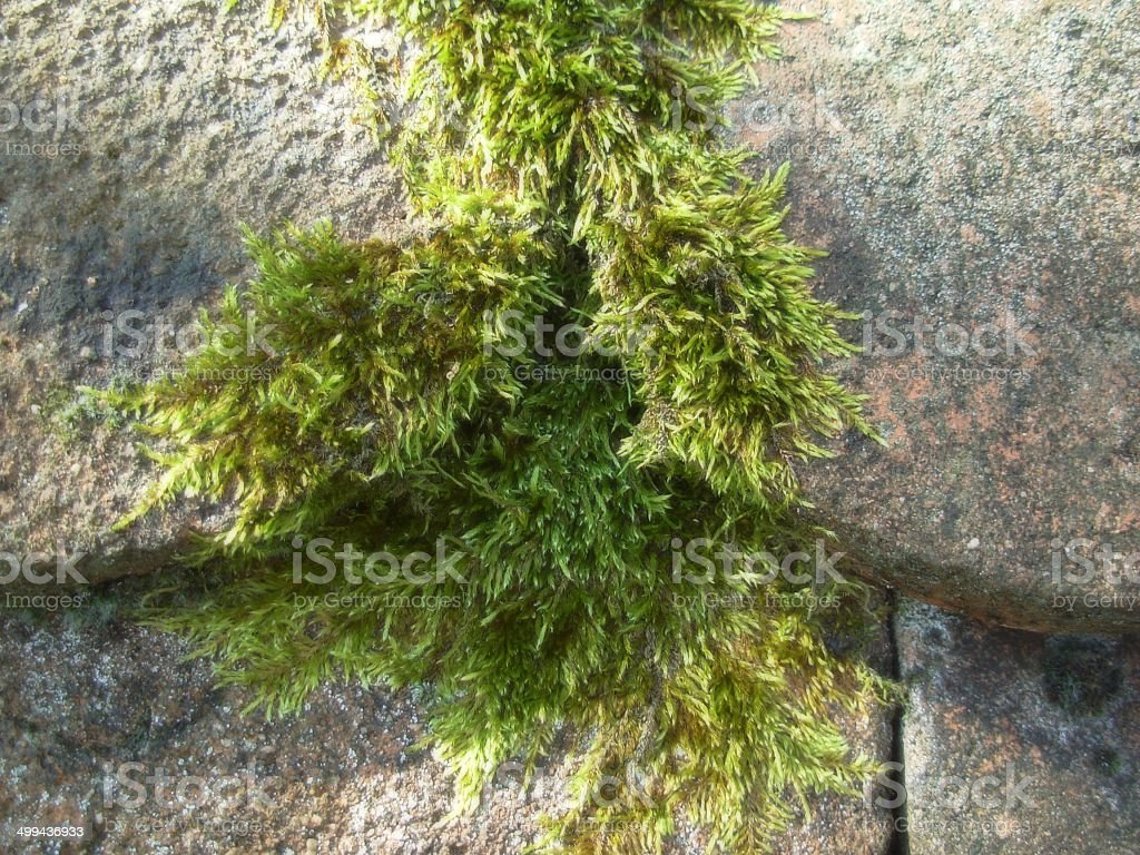 Victorious moss c stock photo
