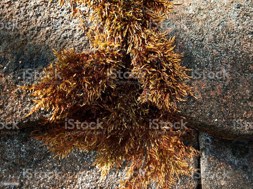 Victorious moss i stock photo