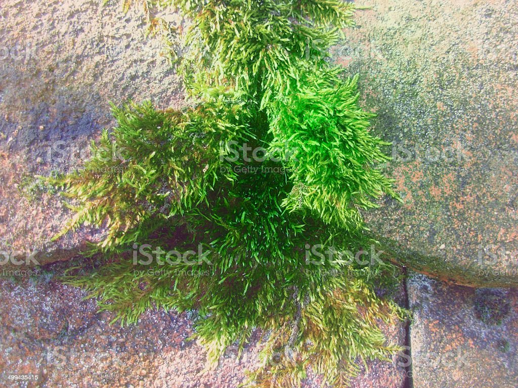 Victorious moss r stock photo