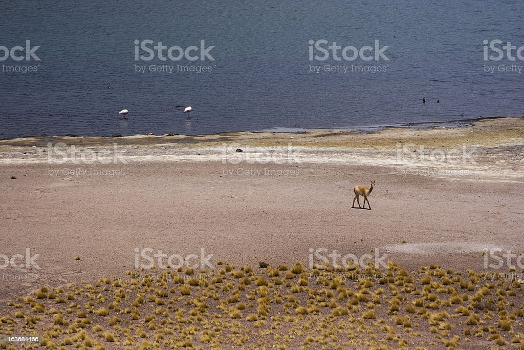 Vicu?a near Mi?iques Lagoon royalty-free stock photo