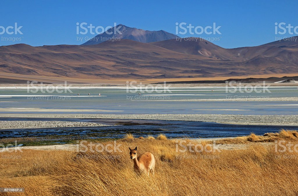 Vicuna at Salar Aguas Calientes, Atacama desert, Chile stock photo