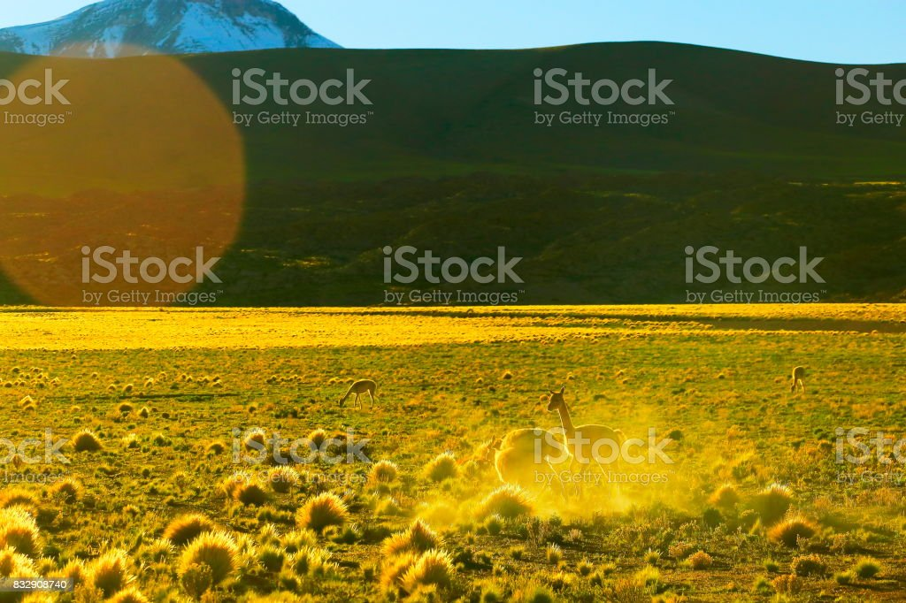 Vicuna Guanaco, animal wildlife in Andes altiplano and Idyllic Atacama Desert, Volcanic landscape panorama – Antofagasta region, Chilean Andes, Chile, Bolívia and Argentina border stock photo