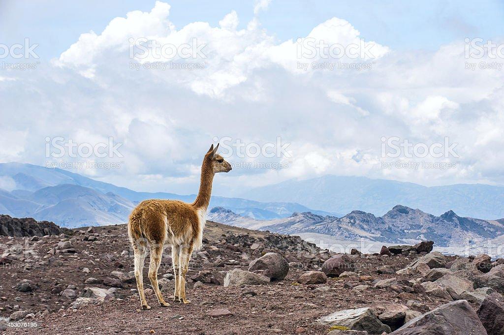 Vicuna in the Andes, central Ecuador stock photo