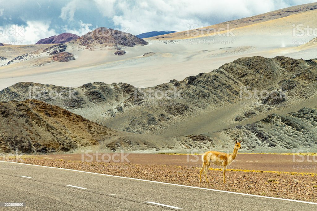 Vicuna on the side of the road stock photo