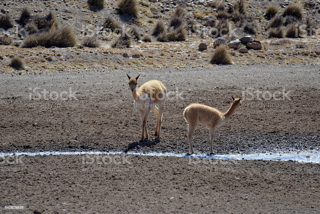 Vicuña stock photo