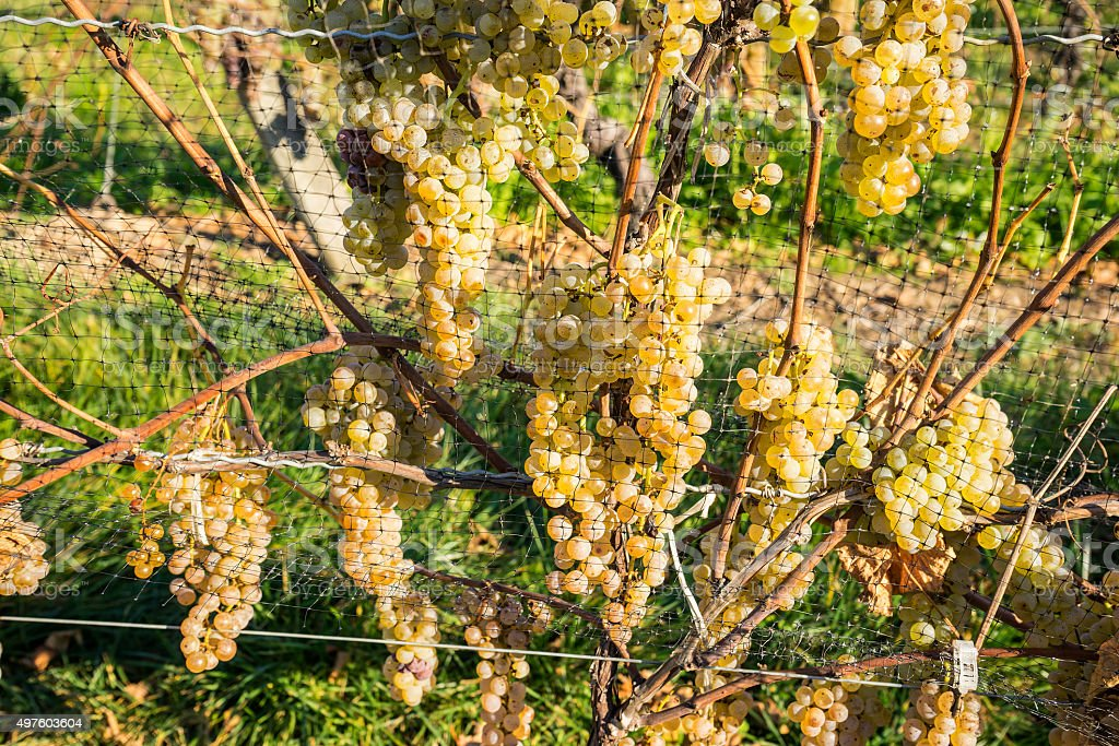 Vidal White Wine Grapes Protected by Nets from Birds stock photo