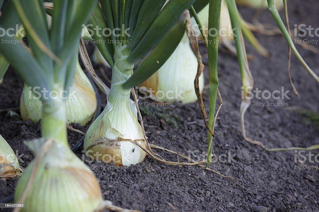Vidalia Onion stock photo