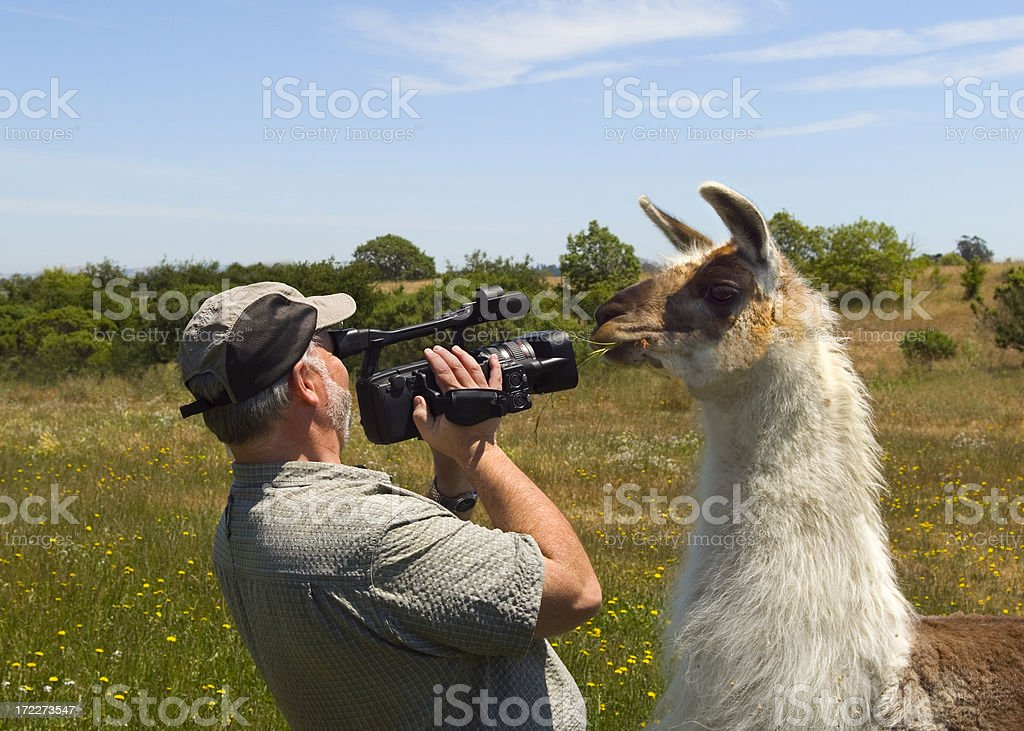 Videographer encounter with Llama royalty-free stock photo