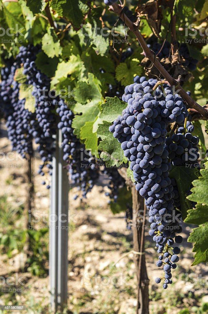 vi?edo de uvas negras royalty-free stock photo