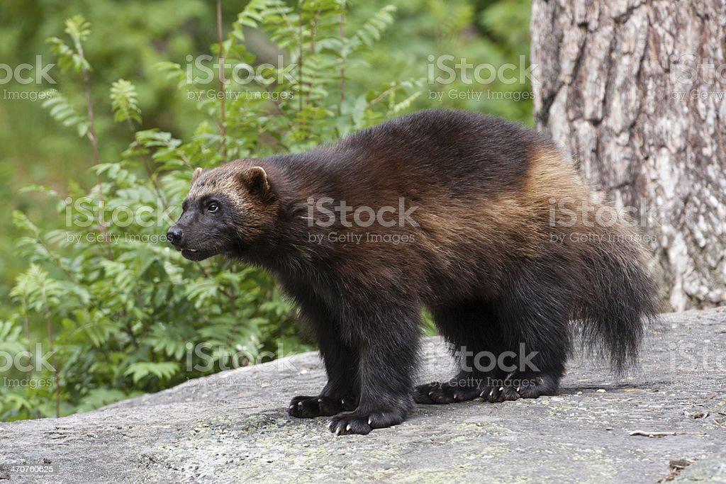 Vielfrass, Wolverine stock photo