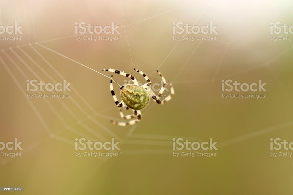 Vierfleck-Kreuzspinne stock photo
