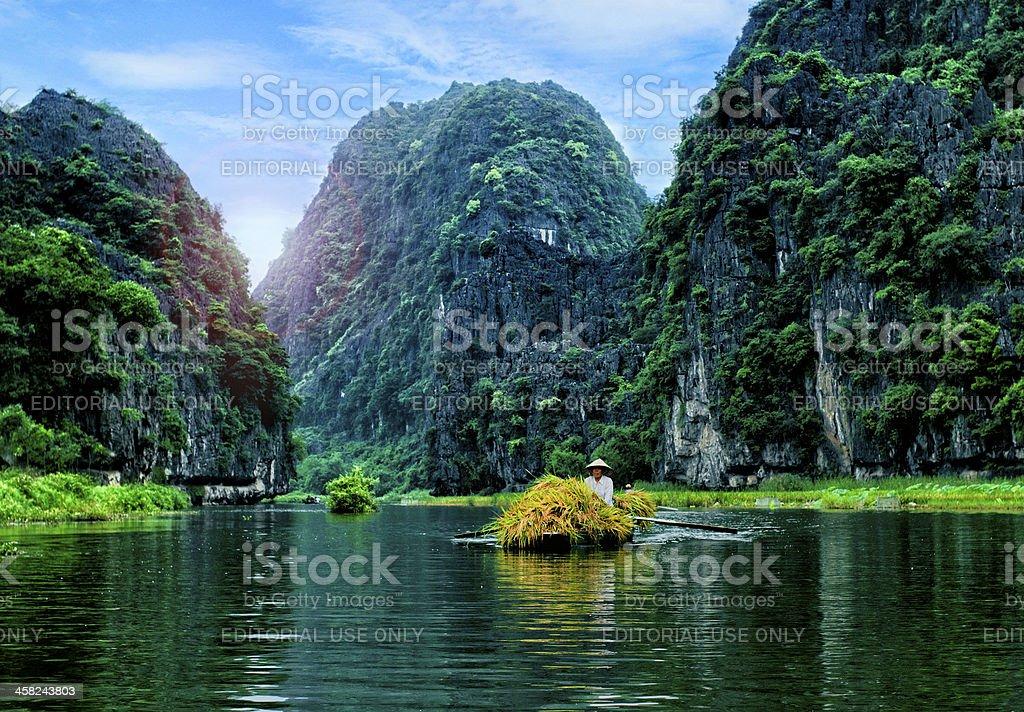 Vietnam farmer havesting rice royalty-free stock photo