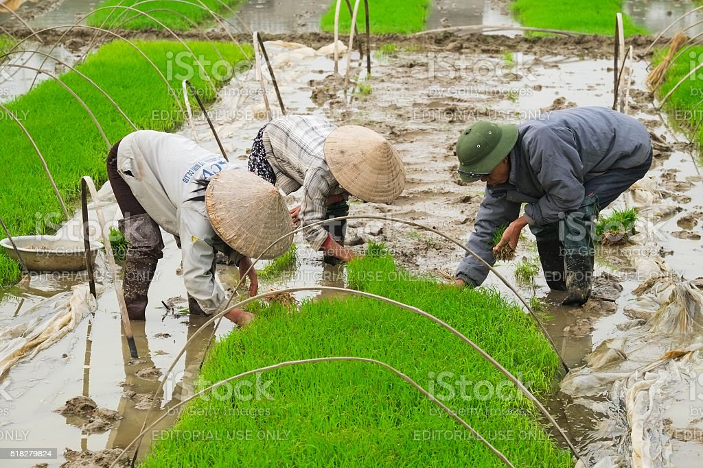 Vietnam farmer on rice field stock photo