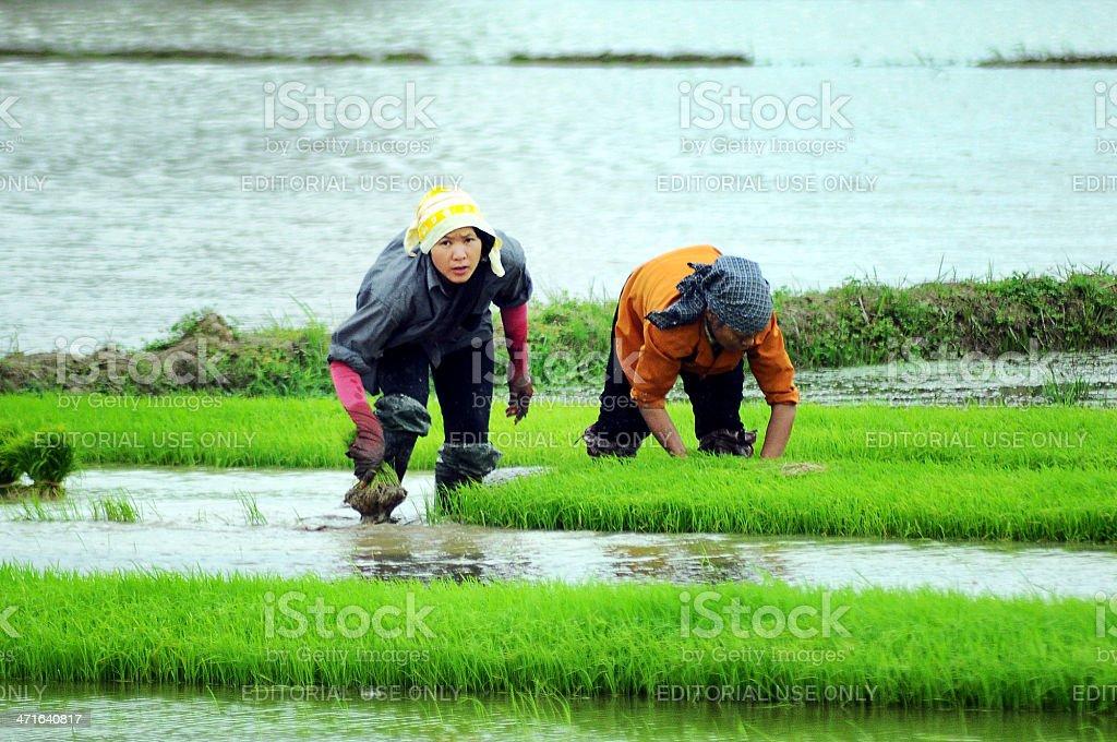 Vietnamese farmer royalty-free stock photo