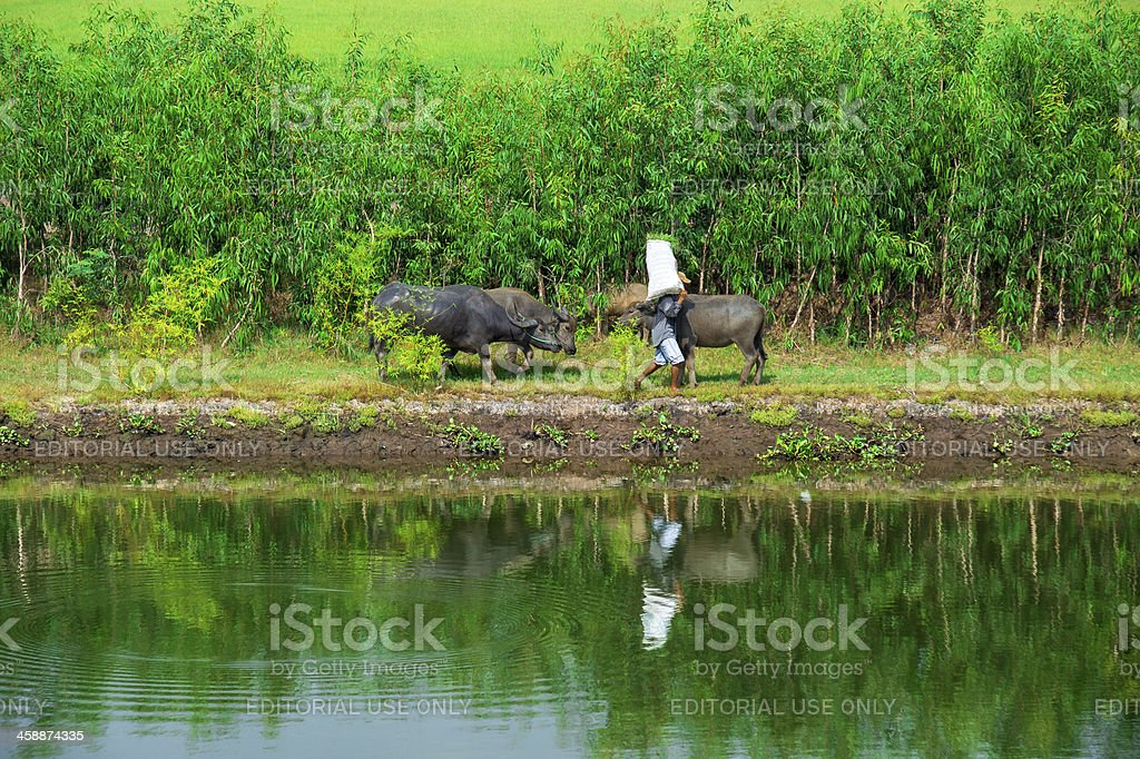 Vietnamese farmer walks water buffalo along the flood bank royalty-free stock photo