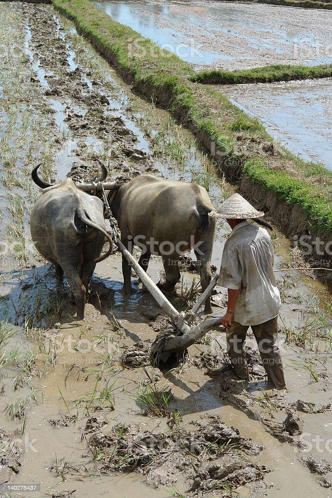 vietnamese farmer with  buffalo stock photo