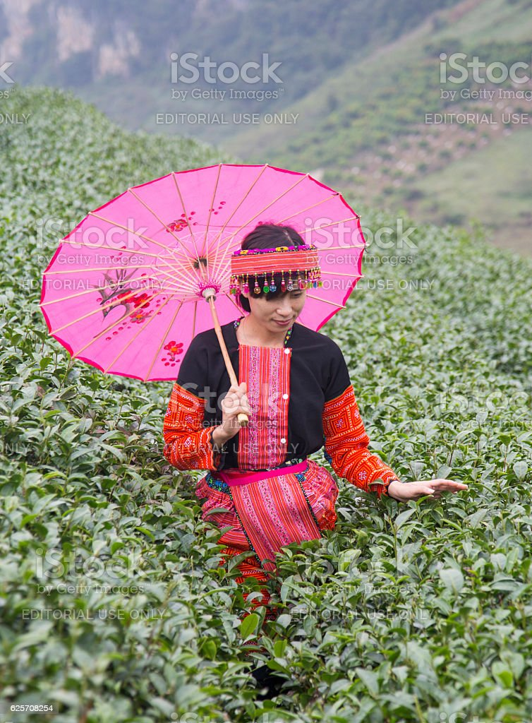 Vietnamese Hmong minority ethnic girl picking tea bud stock photo