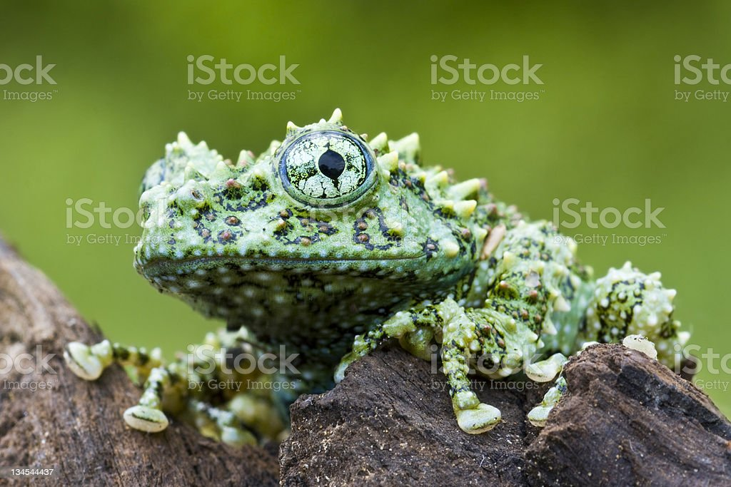 Vietnamese Mossy Frog royalty-free stock photo
