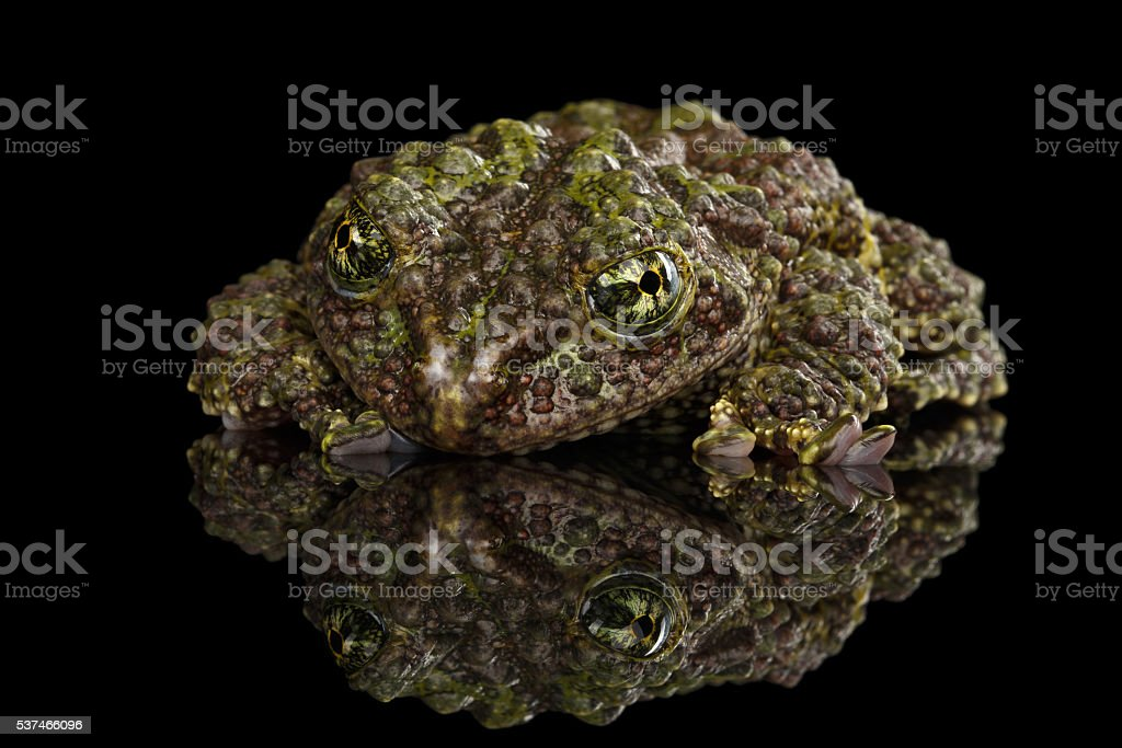 Vietnamese Mossy Frog, Theloderma corticale, Tonkin Bug-eyed Frog, Isolated Black stock photo