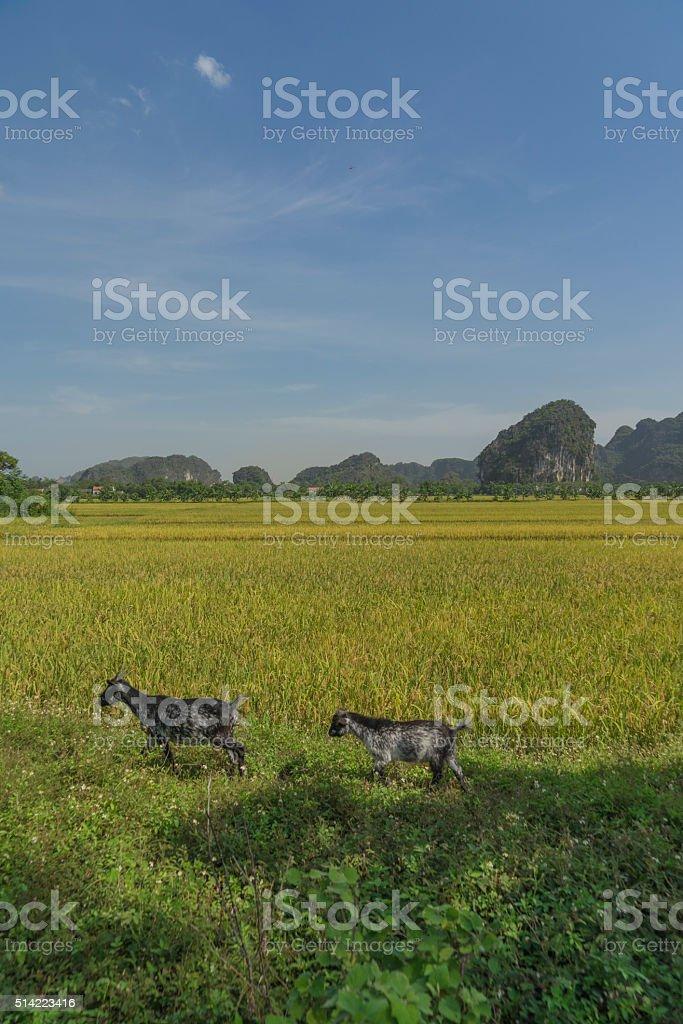 vietnamese paddy field IV stock photo