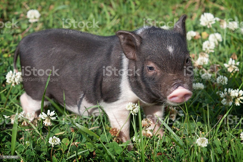 Vietnamese piggy royalty-free stock photo