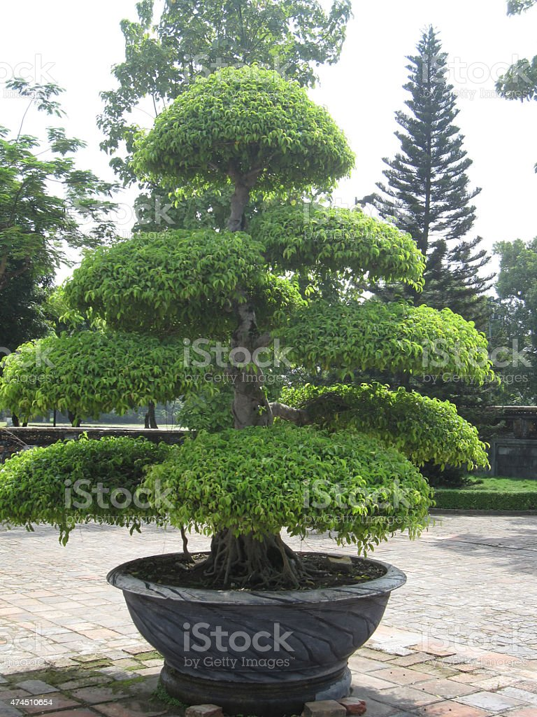 Vietnamita topiaria tree in pot foto de stock libre de derechos