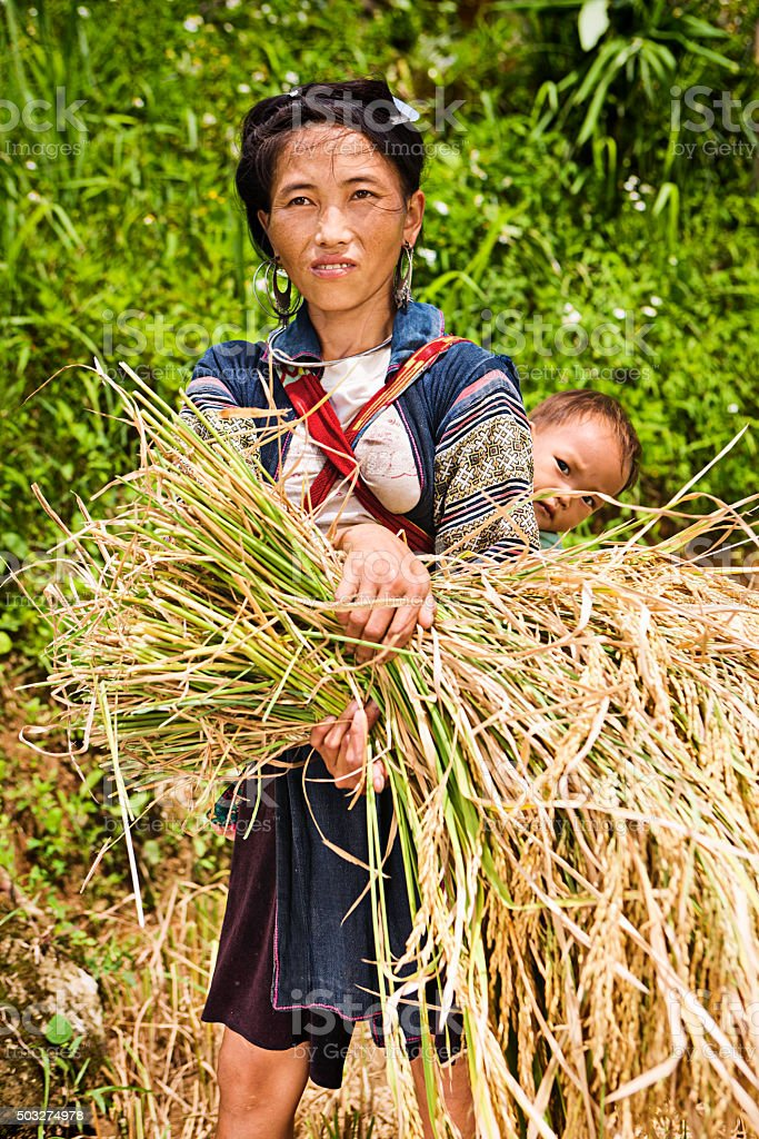 Vietnamese woman harvesting a rice stock photo