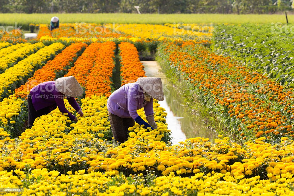 VietNamese woman with conical hat is harvesting flower stock photo