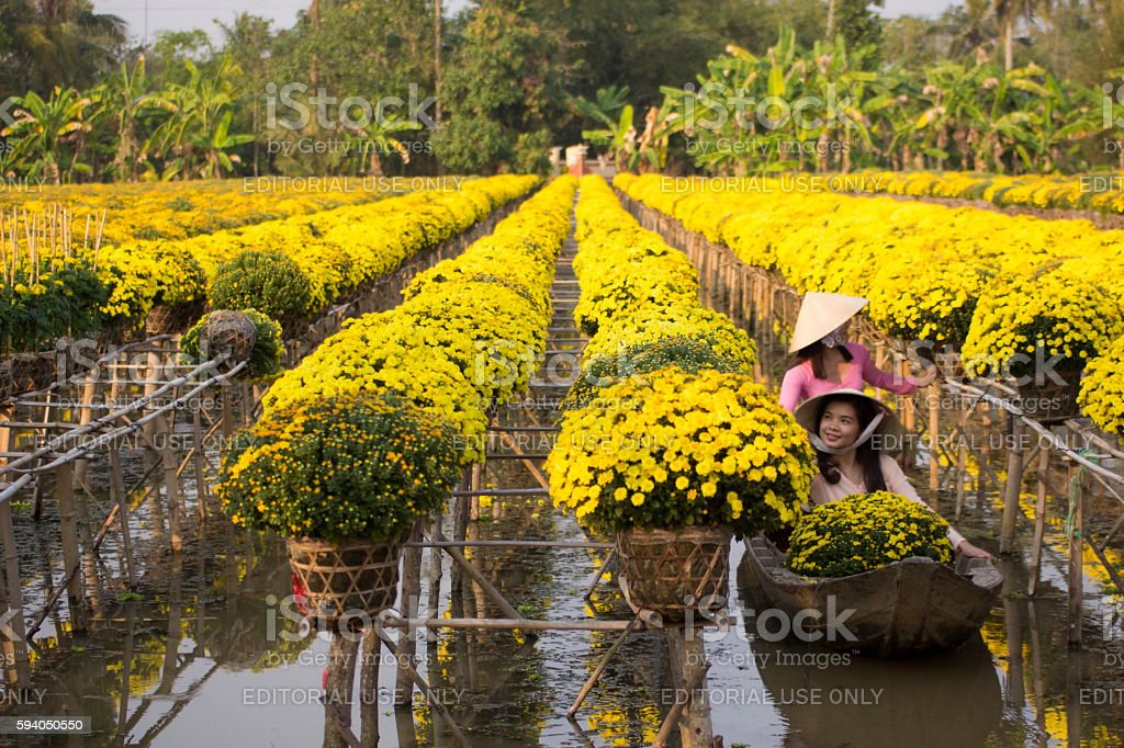 Vietnamese womans are harvesting daisy pots stock photo