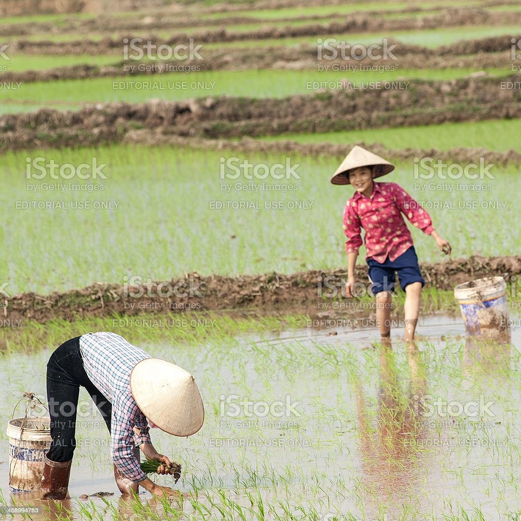 Vietnamese women are planting fresh rice on the fields royalty-free stock photo
