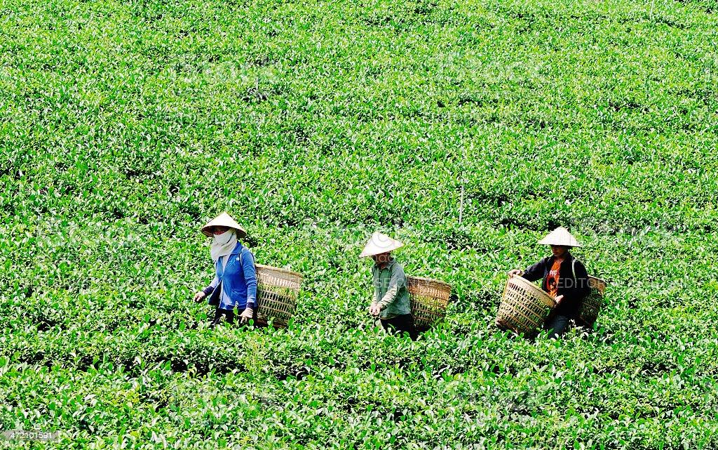Vietnamese women harvesting tea royalty-free stock photo
