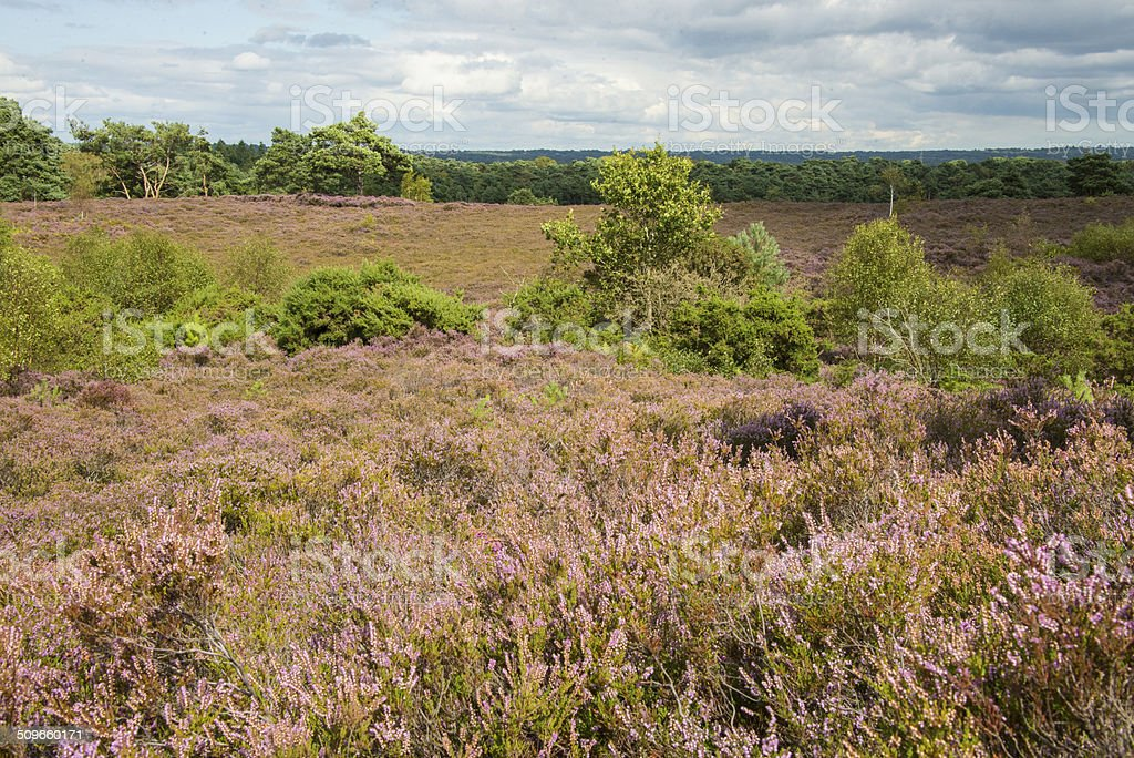 View across heathland in summer royalty-free stock photo