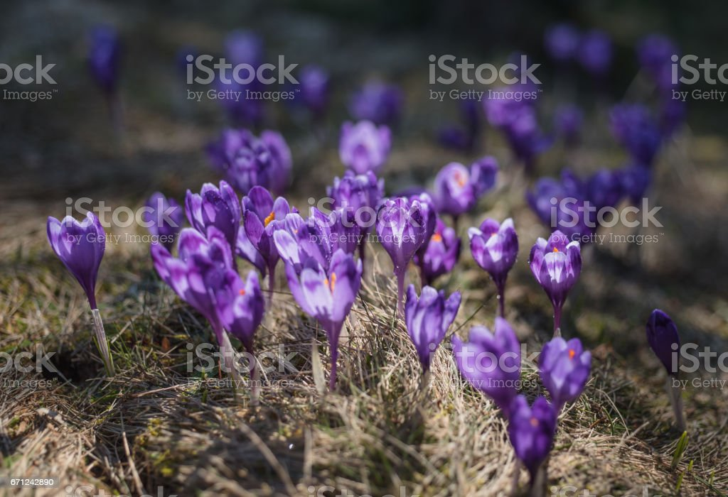 View at sunlit purple crocus flowers in springtime. Morning dew on petals of flowers stock photo