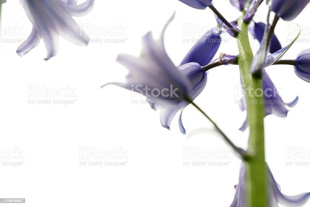 View from below of a stalk of bluebell flowers stock photo